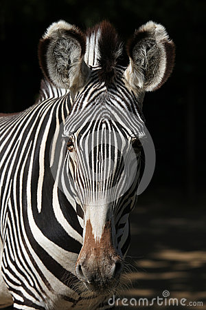 Free Grevy S Zebra (Equus Grevyi), Also Known As The Imperial Zebra. Royalty Free Stock Photography - 56311957