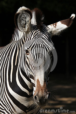 Free Grevy S Zebra (Equus Grevyi), Also Known As The Imperial Zebra. Stock Image - 56643241
