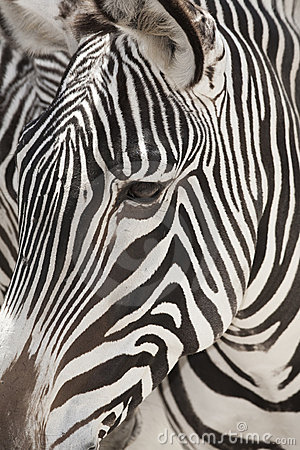 Grevy s Zebra Face Close Up