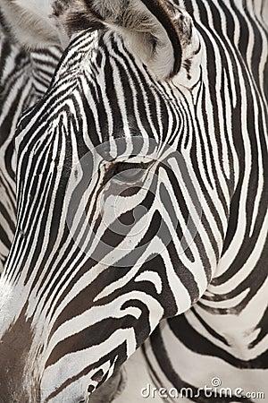 Grevy s Zebra Face Close Up