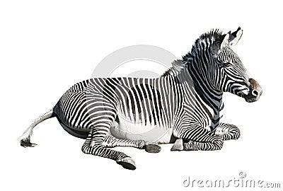 Grevy s zebra over white