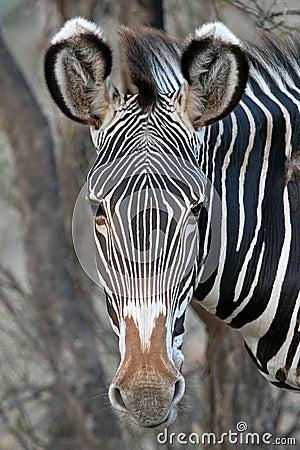 Free Grevy Zebra Royalty Free Stock Image - 1955866