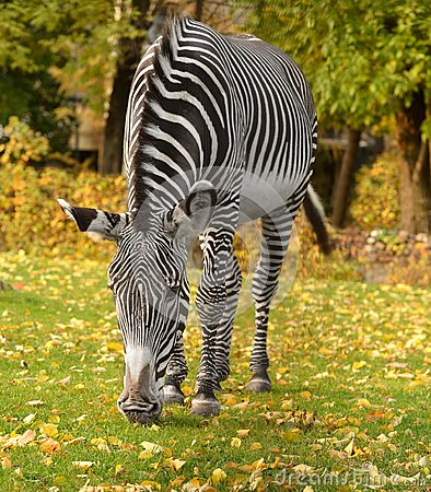 Free Grevy Zebra Equus Grevyi, Known As Imperial Zebra Stock Photography - 104058062