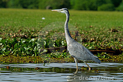 Grey African heron bird