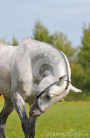 Grey akhal-teke horse