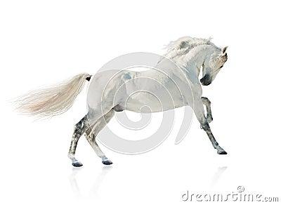 Grey akhal-teke horse isolated