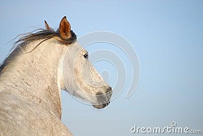 Grey andalusian horse