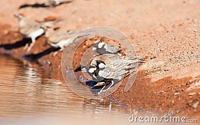 Grey-backed Sparrow-larks
