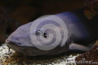 Grey bamboo shark