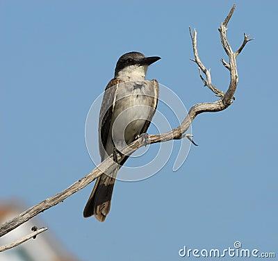 Grey Bird on Dry Stick