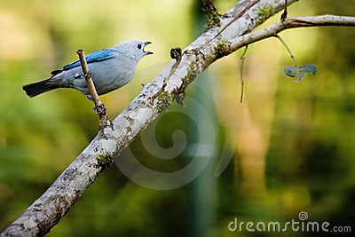 Grey-blue Tanager bird