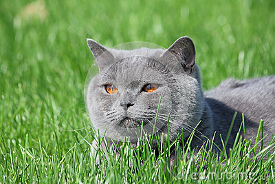 Grey british cat in the grass