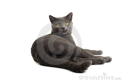 Grey British Short-haired cat