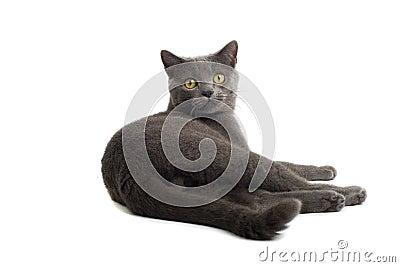Grey British Short-haired cat