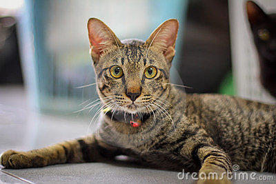 Grey brown  striped cat