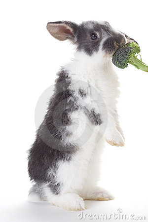 Grey bunny eating a broccoli, isolated