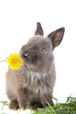 Grey bunny smelling a flower