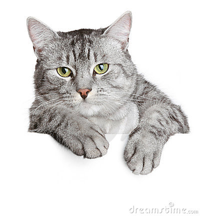 Grey Cat On A Banner Royalty Free Stock Image - Image: 14269896
