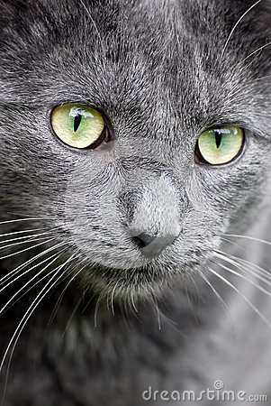 cat eyes close up. Close-up of grey cat with