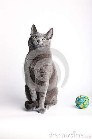 Grey cat contemplating a ball of wool