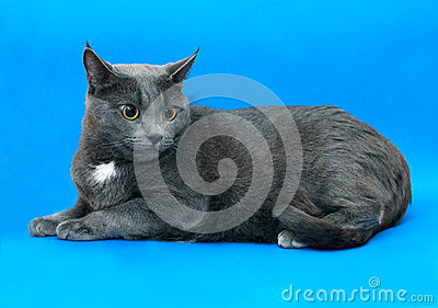 Grey cat female