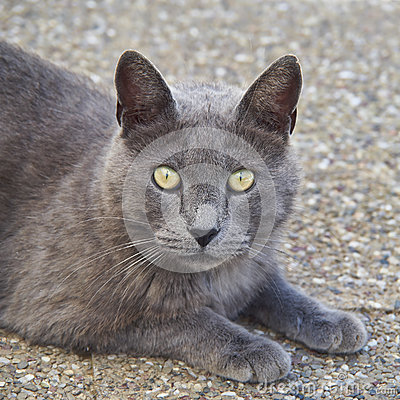 Grey cat looking