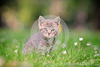 A grey cat posing