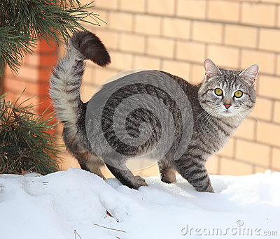 Grey cat on snow near fur tree on