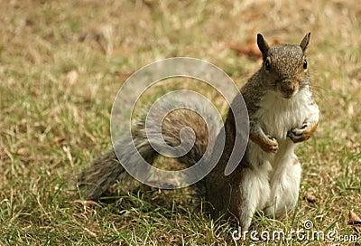 Grey Cheeky squirrel