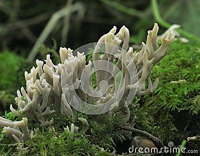 Grey Coral Fungi