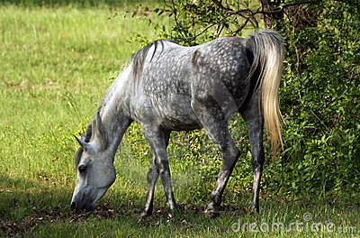 Grey dapple mare