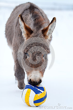 Grey donkey with ball
