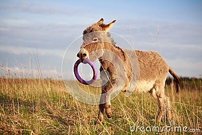 Grey donkey