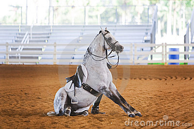 Grey dressage horse sitting