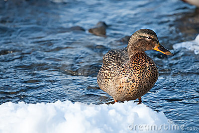 Grey duck in river winter sunny day