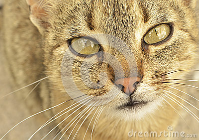 Grey-eyed cat