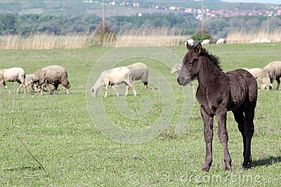 Grey foal on pasture