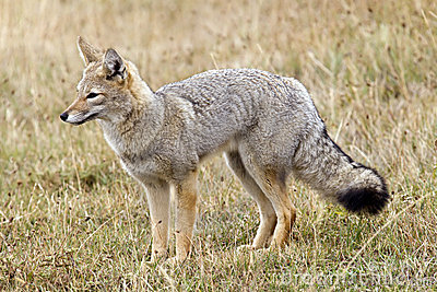 Grey Fox Royalty Free Stock Images - Image: 5876399