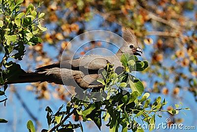 Grey-Go-Away Bird (Corythaixoides concolor)