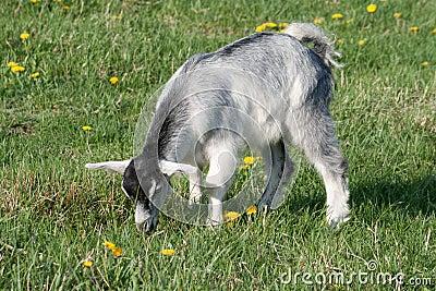 Grey goat
