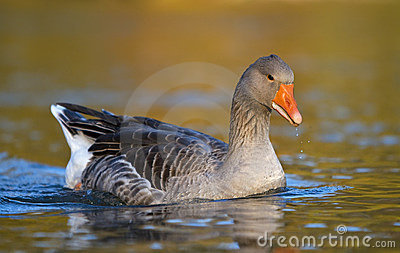 Grey Goose floating on water