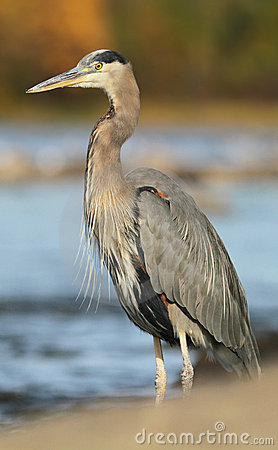 Grey great heron
