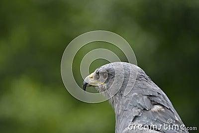 Grey Hawk head
