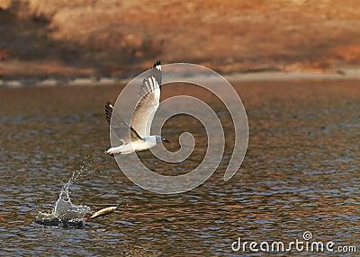Grey Headed Gull