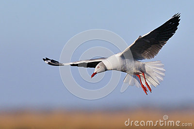 Grey-headed Gull hovering