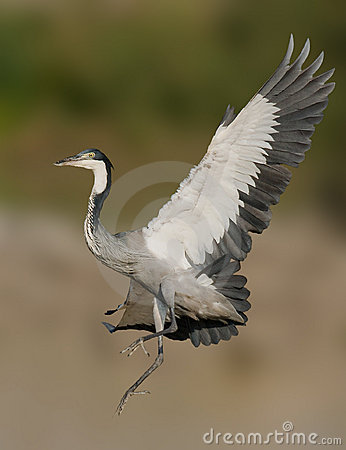 Grey headed heron in flight