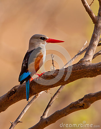 Grey-headed Kingfisher
