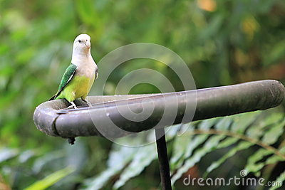 Grey-headed lovebird