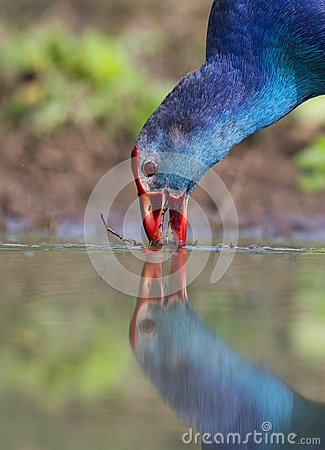 Free Grey-headed Swamphen Feeding In Th Emorning Royalty Free Stock Photos - 104040678