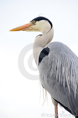 Free Grey Heron Stock Images - 12017524